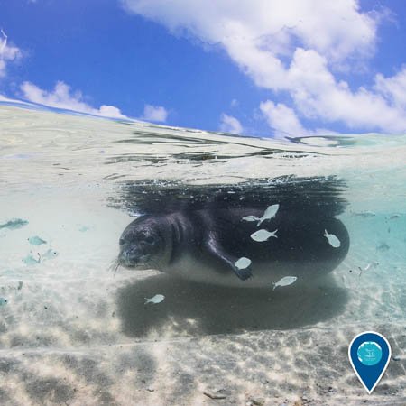 Hawaiian monk seal swimming in shallow water surrounded by fish