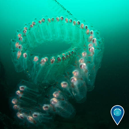 a chain of salps