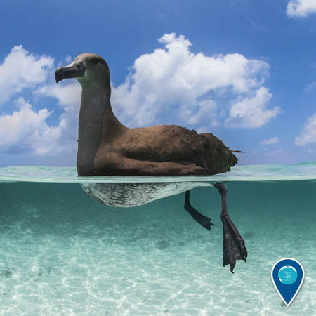 black-footed albatross swimming