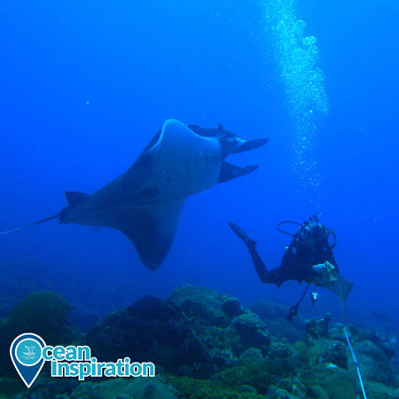 manta ray swimming by a diver