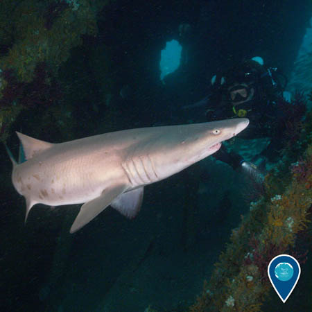 Sand tiger shark swims past a diver