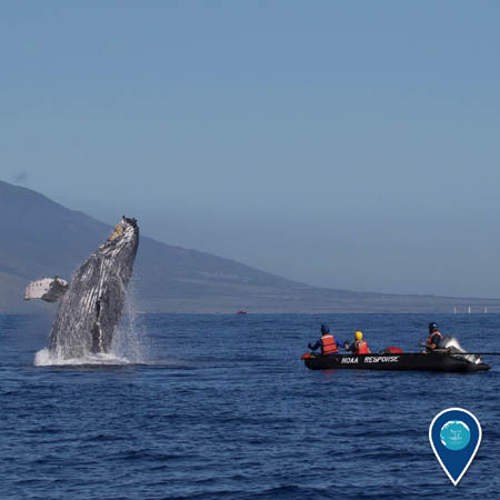 whale breaching near the responders who just disentangled it from fishing gear