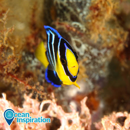 juvenile blue angelfish