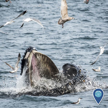 humpback whale feeding with birds flying overhead