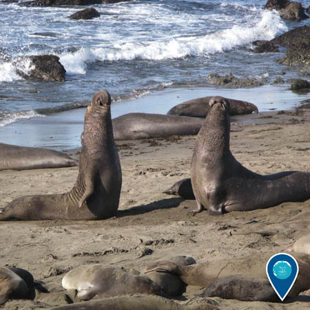 male elephant seals competing against each other on the beach