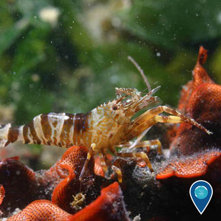 a shrimp crawls over the invasive Watersipora subtorquata