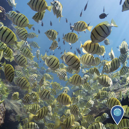 a large school of convict tangs