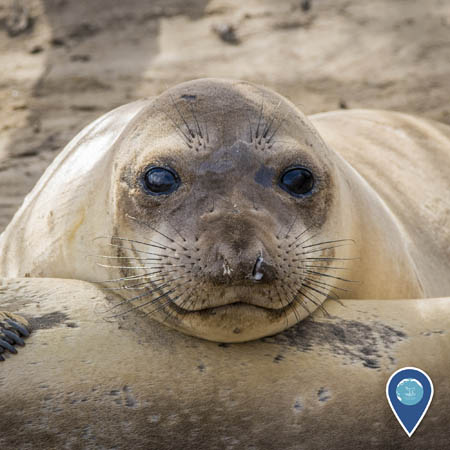 juvenile elephant seal smiling on the beach