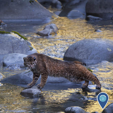 a bobcat stretches out between two small rocks in the midst of a river in golden light