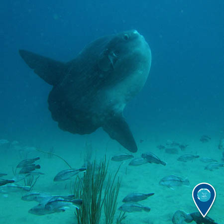 A large mola mola swims above the sea floor. Smaller fish swim beneath it.