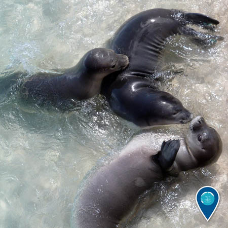 Three Hawaiian monk seals play in shallow water.