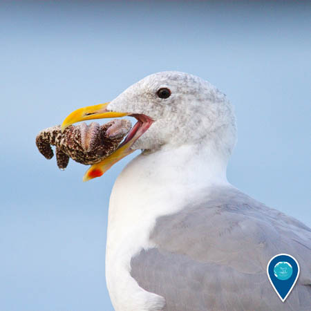 A close-up of a western gull in profile. The gull has an upside-down sea star held in its beak.