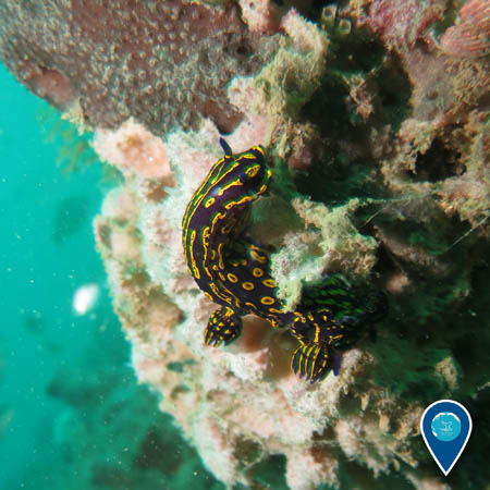 a dark blue and bright yellow nudibranch clings to the side of the reef.
