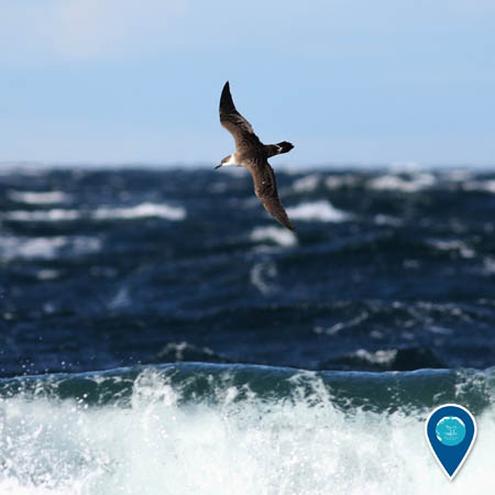 A great shearwater flies above a wave crashing on an unseen beach. The ocean and sky are in the background.
