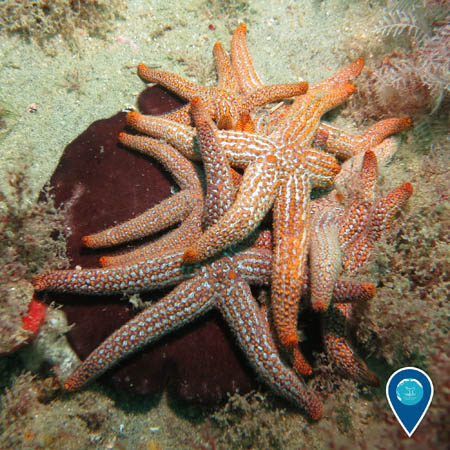 A pile of orange and white sea stars on the ocean bottom.