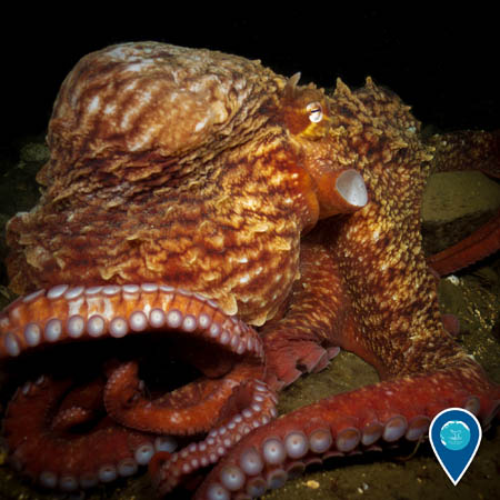 A close-up on a red-orange giant Pacific octopus resting on the sea floor.