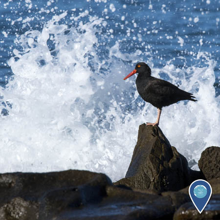 A black oystercatcher stands on a rock in front of breaking waves. The bird is black, with an yellow eye, red-orange bill, and pinkish legs.