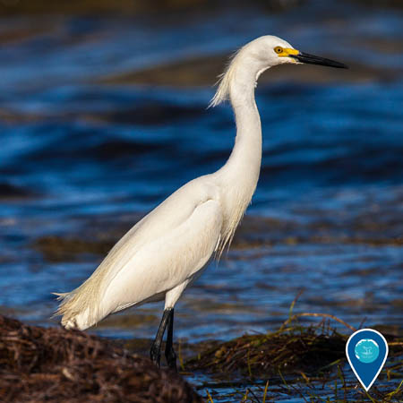 A snowy egret stands in shallow water. The bird is white, with a long neck, yellow and black bill, and black legs.