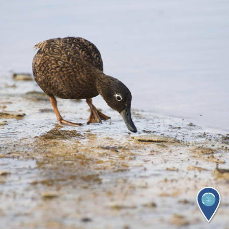 A brown duck walks on wet sand, leaning forward with its bill near the sand.