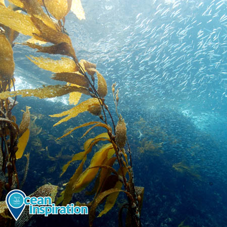 A photo of a kelp forest in NOAA Channel Islands National Marine Sanctuary. Yellow-brown giant kelp waves in the current in the foreground on the left side of the picture. In the background on the right, hundreds of fish swim.