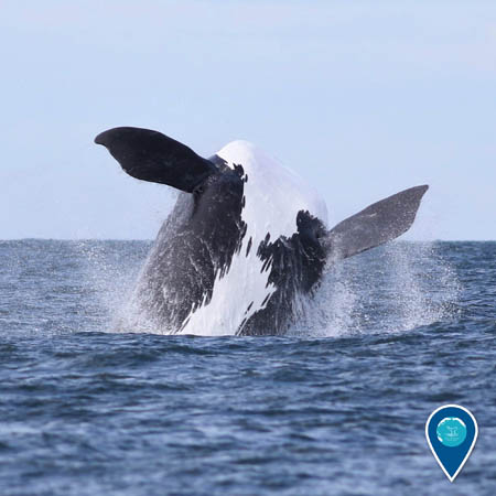 A black and white North Atlantic right whale breaches out of the water. Its belly and flippers are visible.