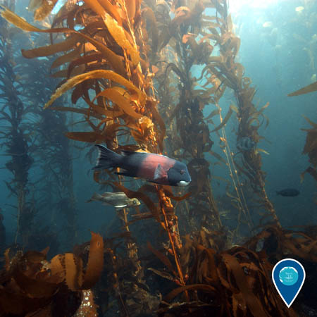 A California sheephead swims through a sunlit kelp forest.