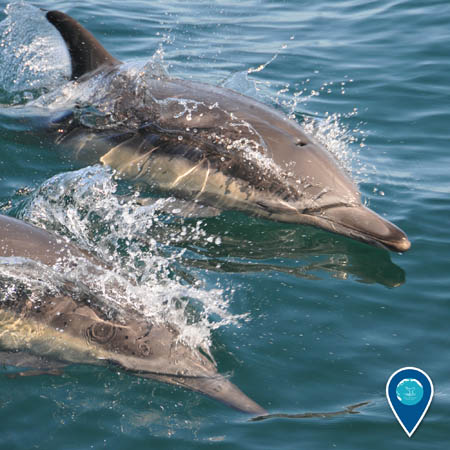 Two common dolphins at the ocean surface.