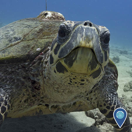 A close-up of a hawksbill turtle that is looking directly at the camera. A small GPS tag is attached to its shell.
