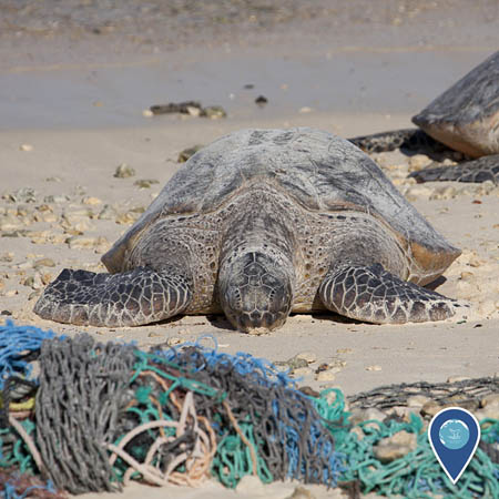A green sea turtle rests on a beach. In the foreground is a pile of derelict fishing nets.