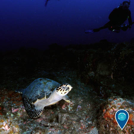A hawksbill turtle rests on the reef floor. A diver swims up above it.