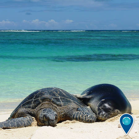 A green sea turtle and a Hawaiian monk seal rest on a beach, cuddled up to one another.