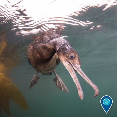 A portrait of a Brandt's cormorant underwater. It appears to be looking at the camera, and there is kelp in the background.