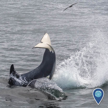 An orca flipping its tail out of the water. Its dorsal fin, back, and tail are visible. A bird flies above.