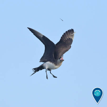 A parasitic jaeger in flight opens its mouth to catch falling fish.