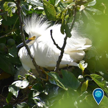 A snowy egret perched in a tree. The feathers on its head are sticking straight up.