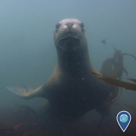 A sea lion, underwater, looks directly at the camera.