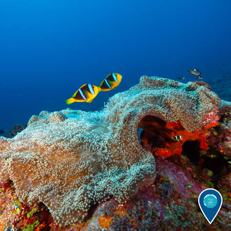 Two yellow, black, and white-striped anemonefish swim above a large sea anemone.