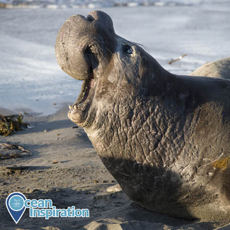 A male elephant seal bellows while on a beach.