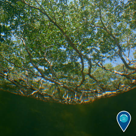 A view of mangrove trees looking up through the water.