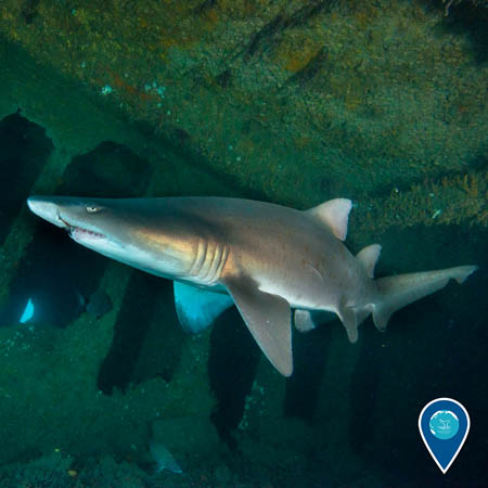 A sand tiger shark swims through a shipwreck.