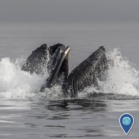 Humpback whales lunge feeding at the ocean surface. Small fish are jumping through the water to try to escape.
