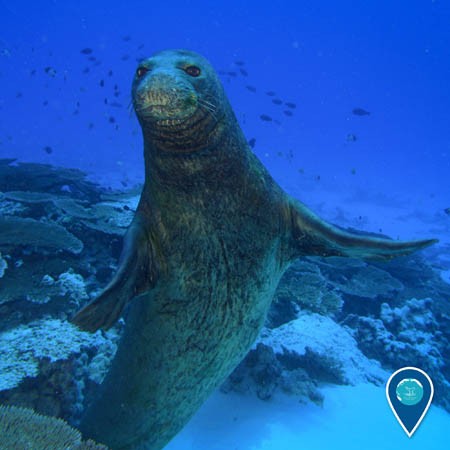 A Hawaiian monk seal swims underwater and looks at the camera.