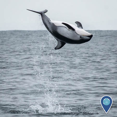 A Pacific white-sided dolphin upside down in the air above the ocean, mid-backflip.