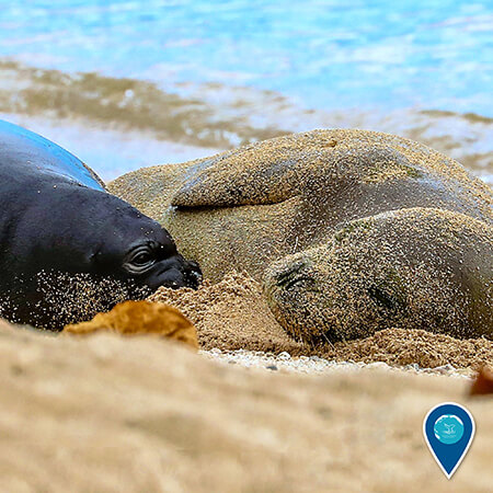 A Hawaiian monk seal mother and pup lying on a beach