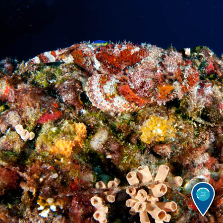 scorpionfish hiding among a coral reef with an invasive cup coral