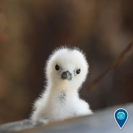 white tern chick
