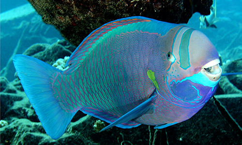 A cheery spectacled parrotfish (Chlorurus perspicillatus) swims through the reef at Midway Atoll, Papahānaumokuākea Marine National Monument