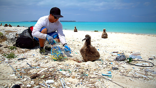 person cleaning up marine debris on the beach next to a laysan albatross chick. they are surrounded by marine debris