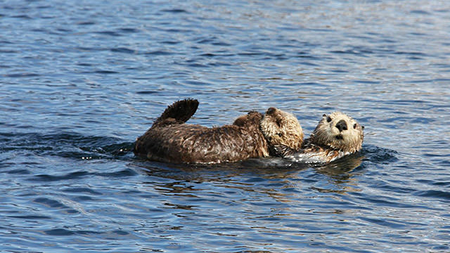 a mother sea otter and pup