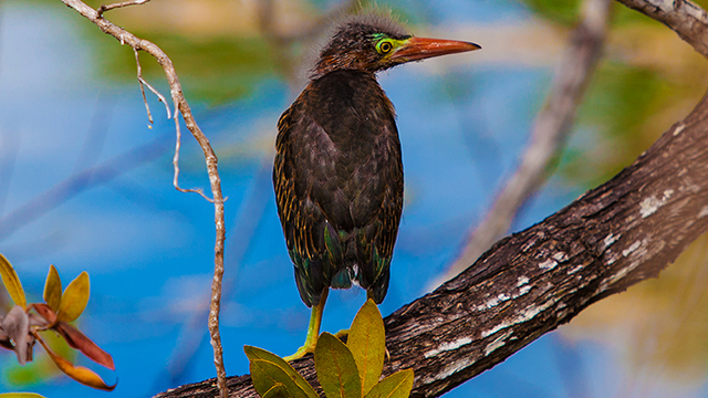 juvenile green heron on a tree branch